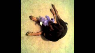 "Dobermann Pinscher ""killing"" Her Kong Toy."