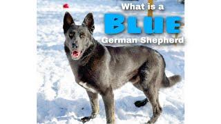 What is a BLUE GERMAN SHEPHERD?