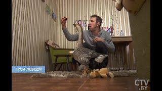Парень живет в квартире с ГУСЕМ | А ещё он изобрёл первый в мире подгузник для гуся