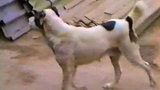 Собаки Туркмении, 1994 год
