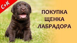 Покупка щенка лабрадора.  Как купить и не ошибиться.