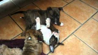 Tp003753884 Pure Breed Bull Terrier Pups