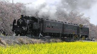 【真岡鐡道 SL C11-325 東武鉄道へ譲渡決定!】C11-325が桜と菜の花の中を走行、沿線走行、転車台回転シーンなど まとめ映像。