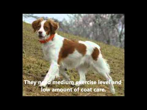 Brittany Spaniel Facts