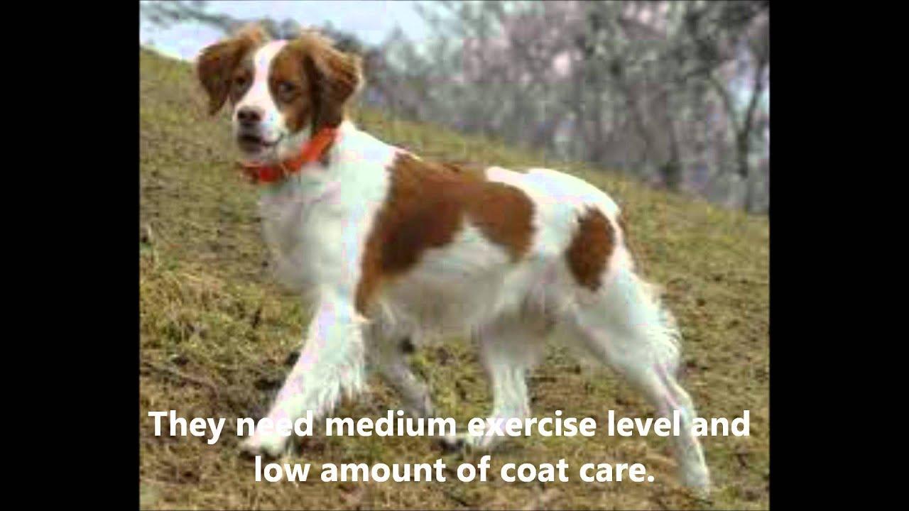 The Brittany Spaniel Pet Dog Documentary English