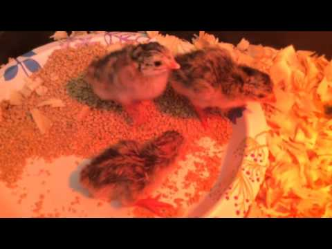 Guinea 24 hrs old