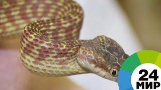 Опасное лекарство: в Таджикистане ученые делают препараты из яда змей - МИР 24