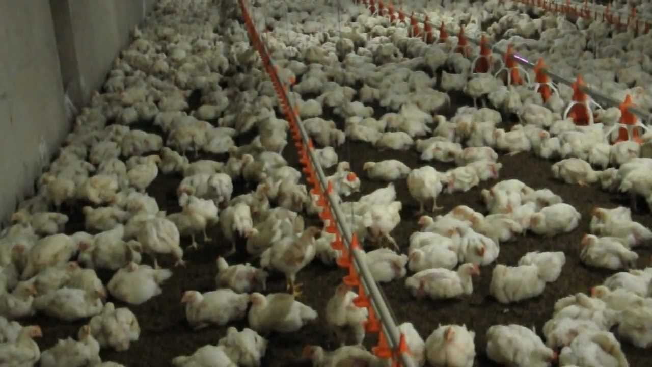 Inside controlled poultry farm