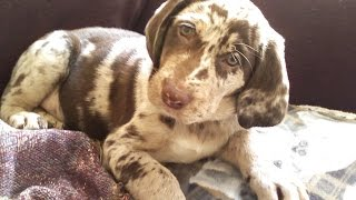***Training A Catahoula Leopard Dog Free-Mini Course***