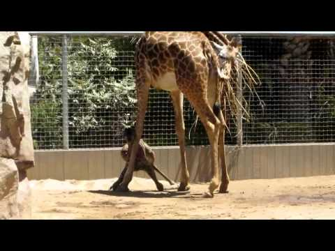 Thumbnail: Baby Giraffe just after being born at San Diego zoo June the 16th 2014