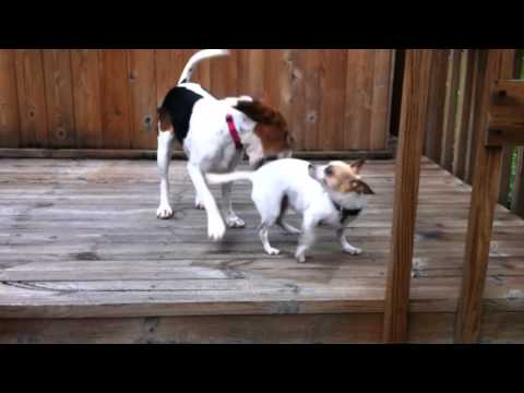 Beagle v. Chihuahua