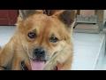 18 +Cara untuk circumcision Dog (sunatan anjing)