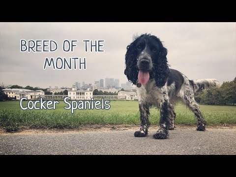 Breed of the Month:  Cocker Spaniel