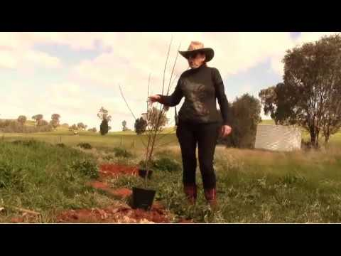 HOW TO PLANT DWARF FRUIT TREES ON PURE CLAY SOIL, GYPSUM