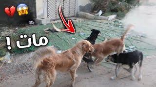 كلب شرس ومسعور يهجم على جميع كلابي !! وفزعة روكي لنا