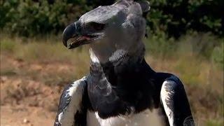 Conheça a harpia, uma das maiores aves de rapina do mundo