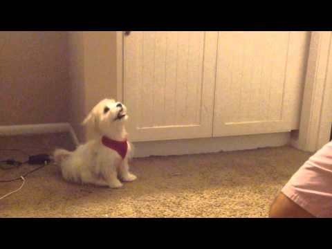 Morkie (Yorkie Maltese mix) puppy learning tricks