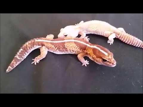 African Fat Tail Geckos!