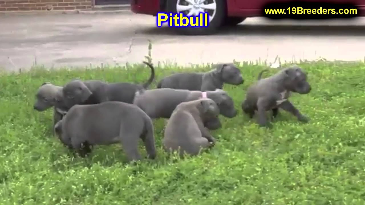 Pitbull Puppies For Sale In Toronto Canada Cities Montreal