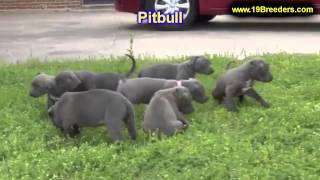 Pitbull, Puppies, For, Sale In Toronto, Canada, Cities, Montreal, Vancouver, Calgary