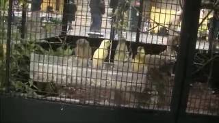 Canary Aviary - White and yellow Canaries - CANADIAN NATIONAL CAGE BIRD SHOW & EXPO 2014