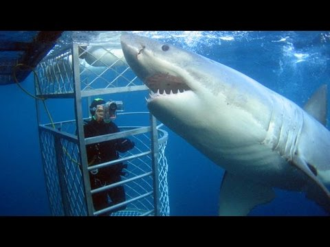 Вопрос: Сколько лет живёт белая акула?
