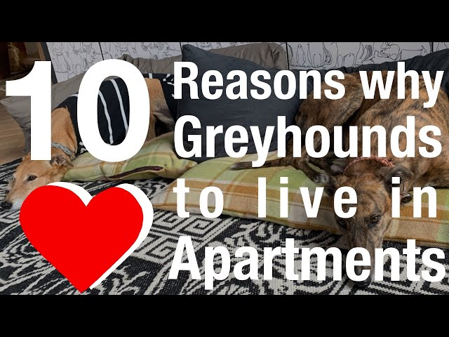 10 Reasons why Greyhounds love to live in Apartments