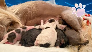 Chinese Crested PUPPIES *5 of them to be exact!