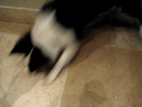 Stupid dog eats shadow