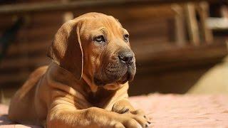***Boerboel Puppy Training Tips Free-Mini Course***