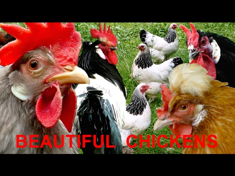 Top10 Most beautiful chicken breeds - Brahma Leghorn Orloff Serama Vorwerk Wyandotte chickens, HUHN