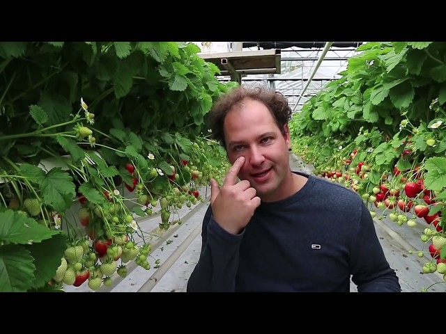 De aardbeien van Meinardi zijn alleen voor Groningers - Bie de Boer (27)