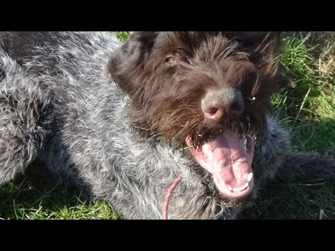 German wirehaired pointer seven months old