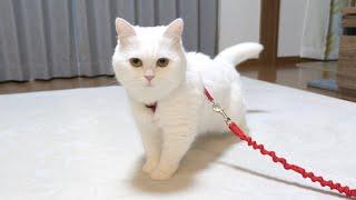 ハーネスをつけられて不機嫌になってしまった猫