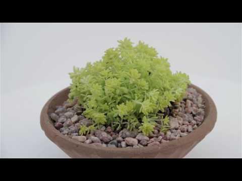 """Sedum hispanium aurea """"Gold Moss Sedum"""""""