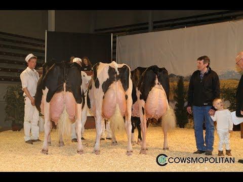 Calgary Dairy Classic Holstein Cow Show 2017