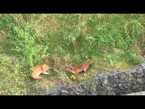 Cat vs Fox part 1