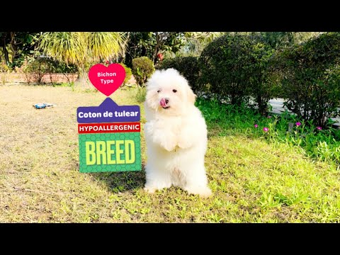Snow White Coton De Tulear Puppy | Bichon Type | Hypoallergenic Dog Breed India