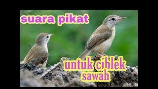 Download Mp3 Suara Pikat Untuk Ciblek Sawah