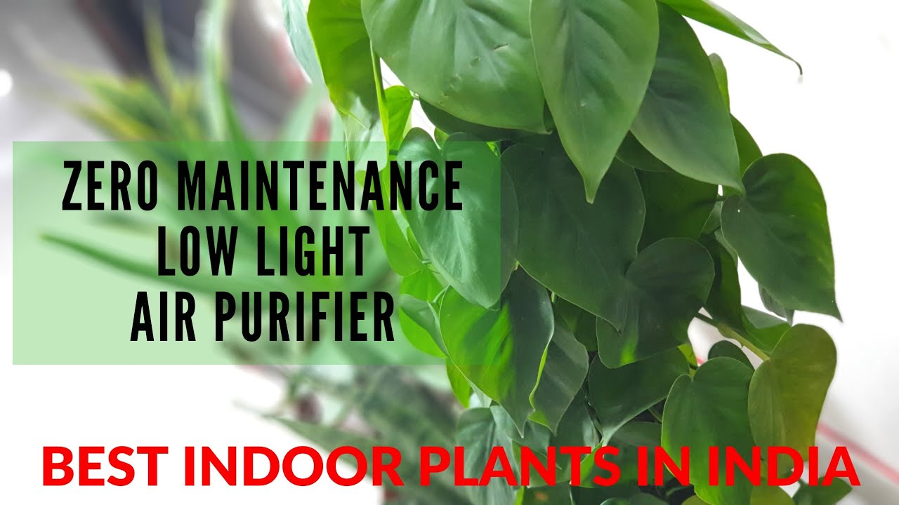 Best Indoor Plants In India For Oxygen Clean Air By Nasa Bedroom