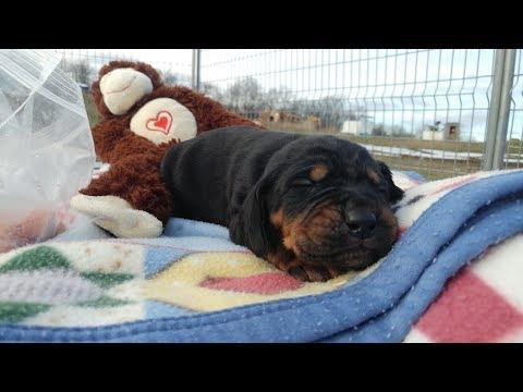 Black Beauties! Beagle mix puppies 12 days old