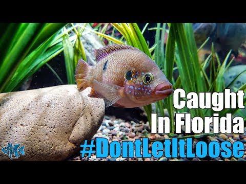 Non-native Jewel Cichlid caught in Central Florida