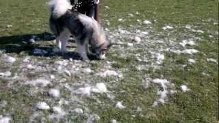 Want an Alaskan Malamute watch this. Day2 of Grooming kyra 1yr 5mths