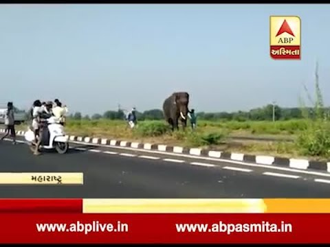 Elephant brought to catch man-eating tigress loses control in Maharashtra