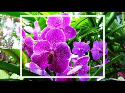 Vẻ Đẹp Của Các Loài Hoa [ Lotus Flower - Eric Chiryoku ]