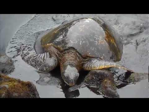 Sea Turtle at Punalu
