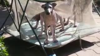 Мексиканская голая собака стандарт щенки