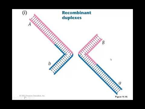 Week 6 video 5- homologous recombination at the molecular level