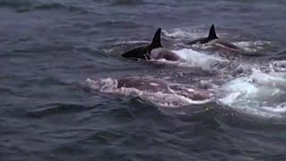 Killer Whales Target Prey | Killer Whale | BBC