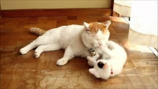 しっぽで遊ばせるしろ Cat playing with tail thumbnail